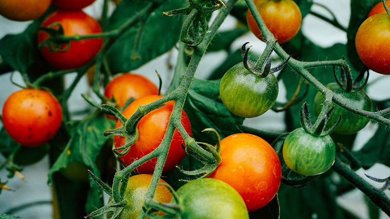 tomaten catering
